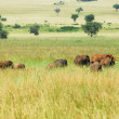 Herd of elephants, Kidepo Valley National Park, Uganda — Stock Photo