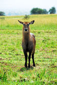 Female Waterbuck , Kidepo Valley National Park, Uganda — Stock Photo