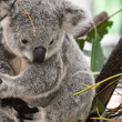 Stock Photo: Portrait of Koala
