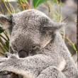 Koala having a rest — Stock Photo