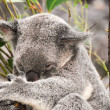 Koalhaving rest — Stock Photo #12595751
