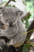 Portrait of a Koala — Stock Photo
