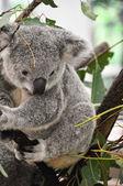Portret van een koala — Stockfoto