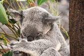 коала, отдыхающих — Стоковое фото