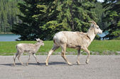 Wild bighorn sheep and baby, Banff, Canada — Stock Photo