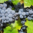 Grapes in a vineyard, La Rioja (Spain) — Stockfoto #13734767