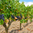 Grapes in a vineyard, La Rioja (Spain) — Stok fotoğraf