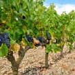 Grapes in a vineyard, La Rioja (Spain) — Lizenzfreies Foto