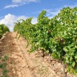 Vineyard at La Rioja (Spain) — Stockfoto