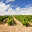 Vineyard at La Rioja (Spain) — Stockfoto #13734977