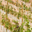 Vineyard at La Rioja (Spain) — Stockfoto #13735029