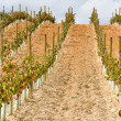 Vineyard at La Rioja (Spain) — Stockfoto #13735168