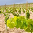 Stock Photo: Vineyard at La Rioja (Spain)