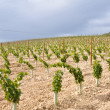 Vineyard at La Rioja (Spain) — Stockfoto #13735316