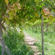 Vineyard at Elqui valley, Chile — Stock Photo