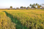 Rice field in Karnataka, India — Stock Photo