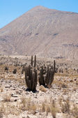 Cactus at Elqui valley (Chile) — Stock Photo