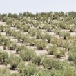 Stock Photo: Plantation of olive trees, Andalusia (Spain)