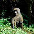 Green Baboon, Budongo forest (Uganda) — Stock Photo #14168156