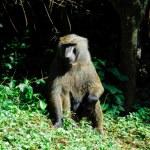 Green Baboon, Budongo forest (Uganda) — Stock Photo