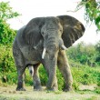 Male African elephant, Kazinga Channel (Uganda) - Stock Photo