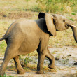 Baby African elephant, Kazinga Channel (Uganda) - Stock Photo