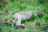 Python snake devouring a small gazelle — Stock Photo