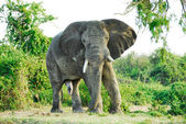 Male African elephant, Kazinga Channel (Uganda) — Stock Photo