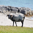 Sheep near the sea, Mannin Bay (Ireland) — Stock Photo
