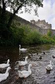 White swans near Cahir castle, Ireland — Stock Photo