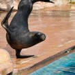 Sea Lion in a marine show — Stock Photo