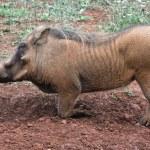 Closeup portrait of a male warthog — Stock Photo #17345643