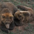 Female european brown bear and cub — Stock Photo