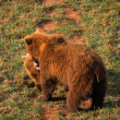 Female european brown bear and cub - Stock Photo