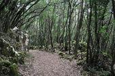 Ilex tree forest at Buciero mountain, Cantabria (Spain) — Stock Photo