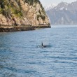 Orca Whale in Resurrection Bay, Alaska — Stock Photo