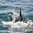 Stock Photo: Orca Whale in Resurrection Bay, Alaska