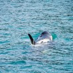 Orca Whale in Resurrection Bay, Alaska — Stock Photo