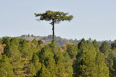 Lonely tree, Serrania de Cuenca nature park (Spain) — Foto Stock