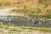 Impala, North Lwanga National Park (Zambia) — Stock Photo