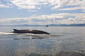 Fin whale, St Lawrence river, Quebec (Canada) — Stock Photo