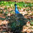 Peacock, Prince's garden, Aranjuez (Madrid) — Stock Photo