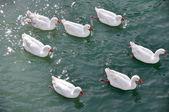 Bunch of Ducks, Tajo River (Aranjuez) — Stock Photo