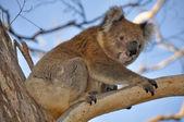 Koala in cape Otway reserve, Victoria (Australia) — Stock Photo
