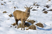 Ciervos en el parque de salburua, vitoria (españa) — Foto de Stock