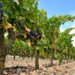 Stock Photo: Grapes in vineyard, LRioj(Spain)