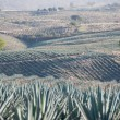 Agave field in Tequila, Jalisco (Mexico) — Stock Photo #22382375