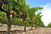 Grapes in a vineyard, La Rioja (Spain) — Foto de Stock