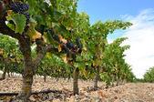 Grapes in a vineyard, La Rioja (Spain) — Stock Photo