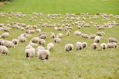 Sheep in New Zealand — Stock Photo